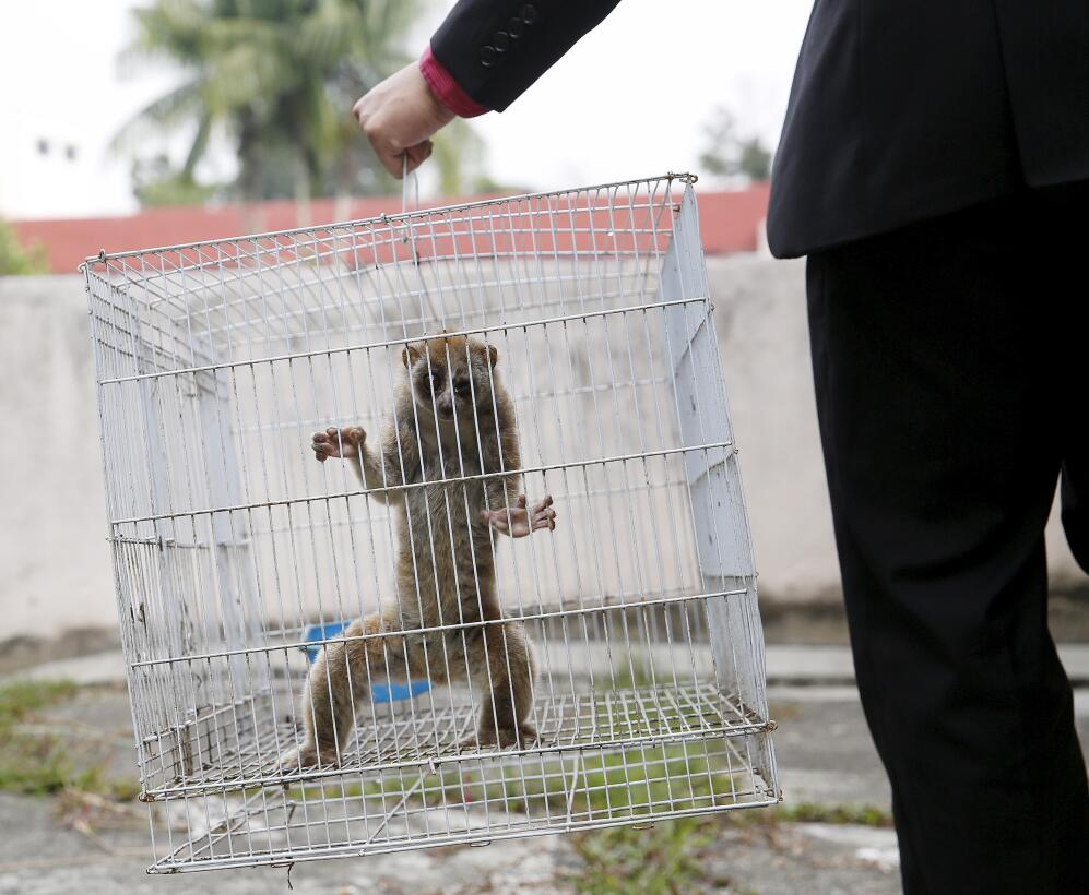 A slow loris is carried in a cage by a wildlife department official at t...