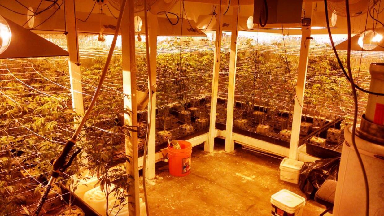 Más de 200 plantas de marihuana decomisadas en Glendale
