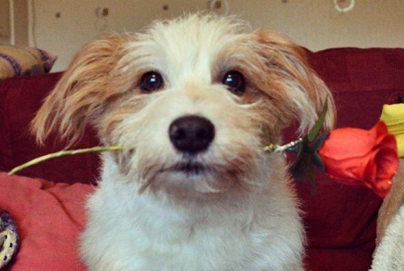 Ginny es un Jack Russel l del Reino Unido, una linda perrita que adora j...