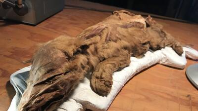 Fotos: Así lucen dos cachorros de la Era del Hielo hallados en perfecto estado 50,000 años después de morir