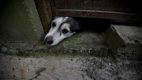 In this July 21, 2016 photo, an abandoned dog pokes his head out from un...