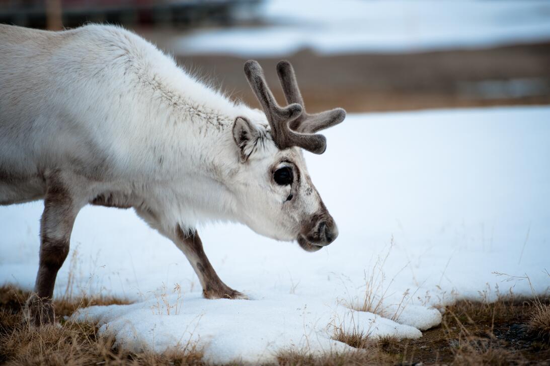 Qué dice la ciencia sobre la nariz roja del reno Rodolfo GettyImages-101...