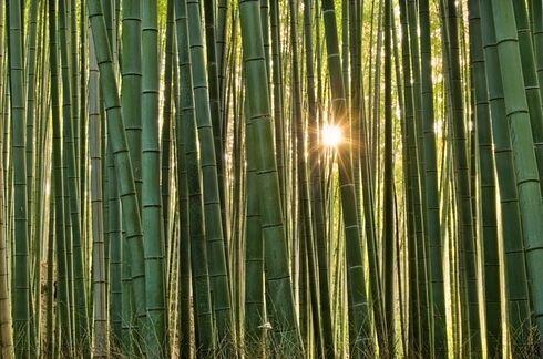 Los caminos de Bambú de Arashiyama en Kyoto, Japón