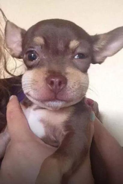 Bendito! Pobre Chihuahua! Fotos Crédito: Twitter