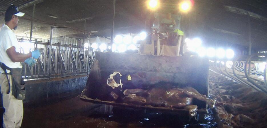 Maltrato vacas