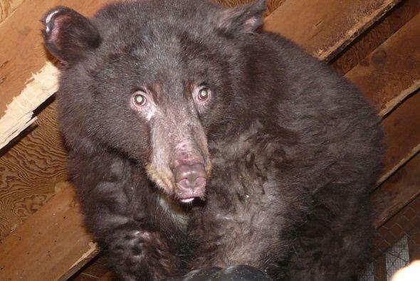 El caso de este pequeño oso conmueve hasta el más duro de los corazones,...