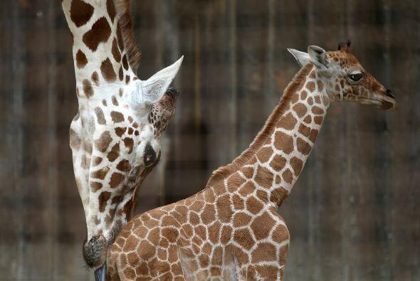 El papá de los bebés es una jirafa de 12 años llamado Floyd.