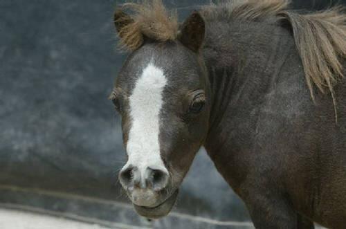 No es un juguete o un poni, ¡es el caballo más pequeño del mundo!