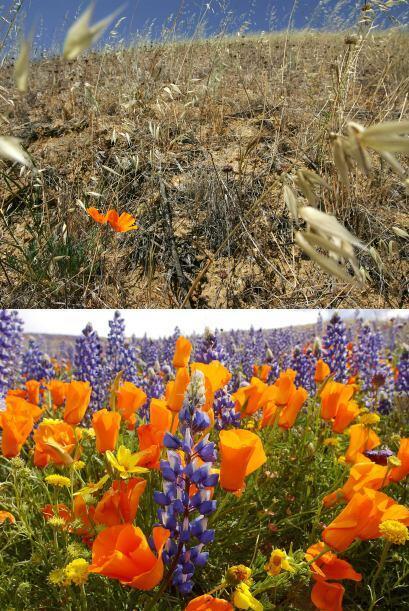 En la imagen de arriba (2007) se ven dos amapolas floreciendo en un camp...