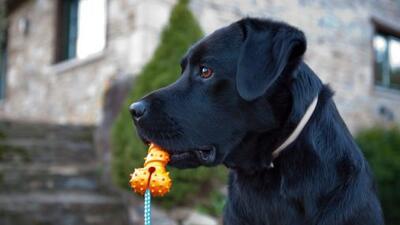 1) Labrador Retriever: Es la raza de perro más popular de la ciudad y la...