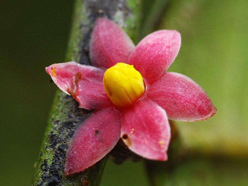 La Sirdavidia solannona es una planta descubierta en una de las áreas má...