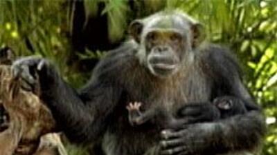 Zoológico de Dallas convoca concurso para escoger nombre a chimpancé beb...