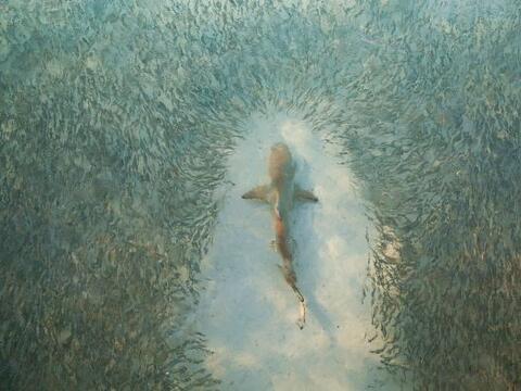 ¡Un tiburón sólo estaba paseando y a su alrededor na...