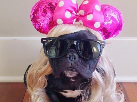 Ella es Ms. Piggy, una linda Bulldog Francés, que adora la moda y...