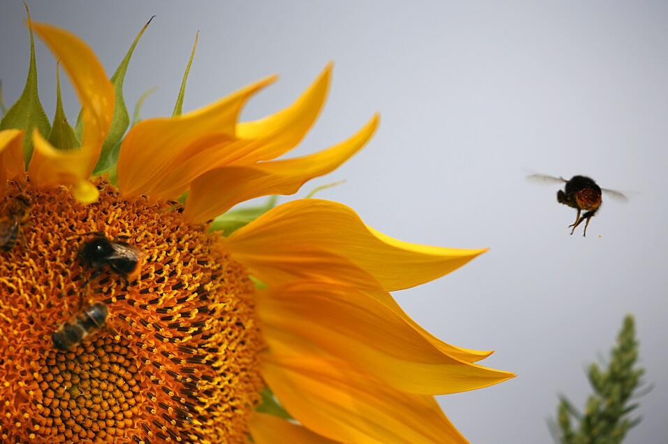 21 de marzo - La abeja (Bombus affinis) aparece oficialmente como una es...