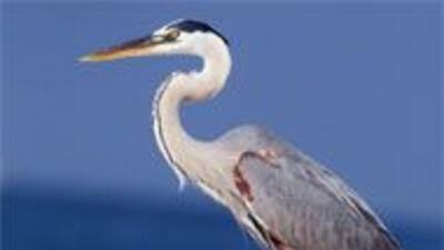 Desmiente que haya aves muertas en Texas por el derrame de petróleo en L...