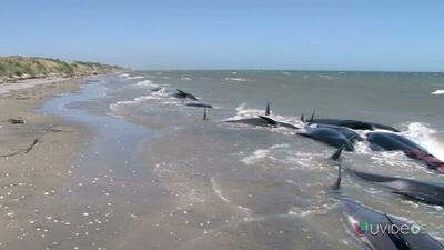 Docenas de ballenas muertas en Nueva Zelanda