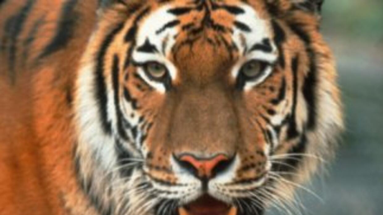 El tigre es una de las especies en mayor peligro de extinción. En el últ...