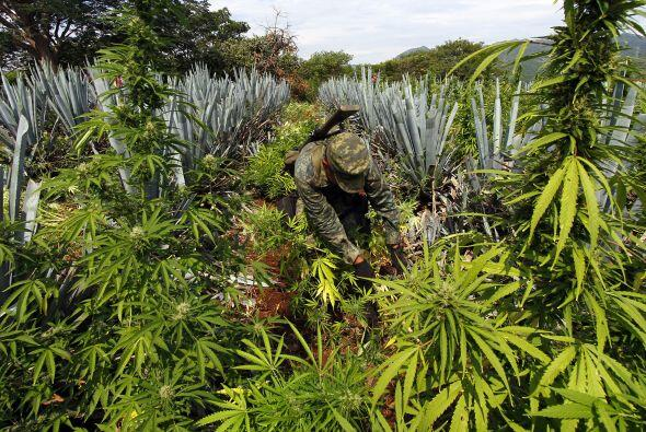 México es actualmente el segundo productor mundial de opio, heroína y ma...