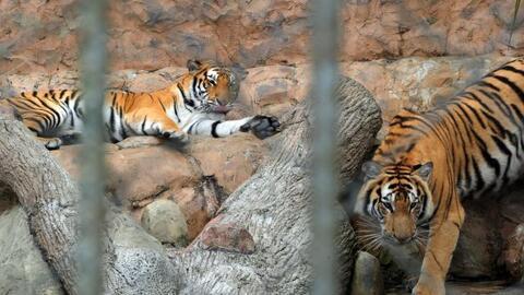 En la actualidad, la mayoría de los tigres viven en cautiverio. R...