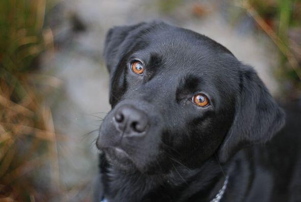 Esta bonita Labrador color negro es alérgica a vivir como un perro.