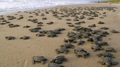 anidaje de tortugas