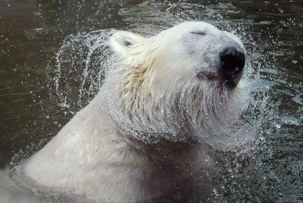 Presentan adaptaciones para nadar: su grasa parda les provee flotabilida...