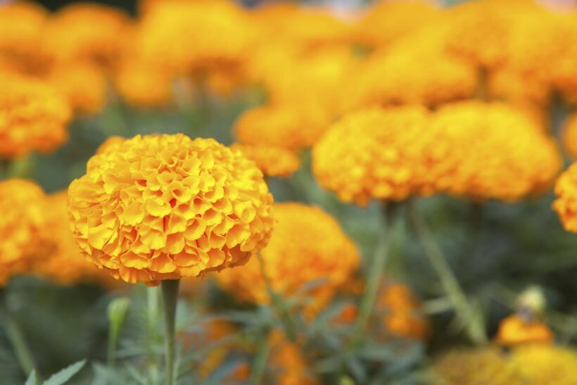 flor de cempasuchil
