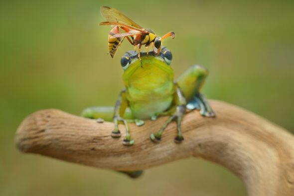 La rana gozaba su día cuando un peligroso insecto usó su cabeza para des...