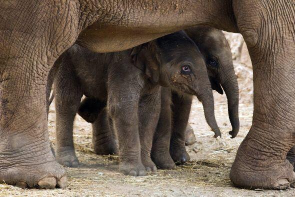 Imágenes conmovedores del bebé elefante acercandose a su m...