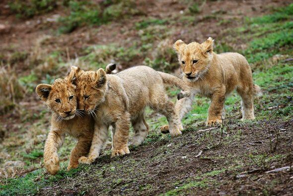 ¡Hasta para él es difícil cuidar a tres jóvenes felinos!