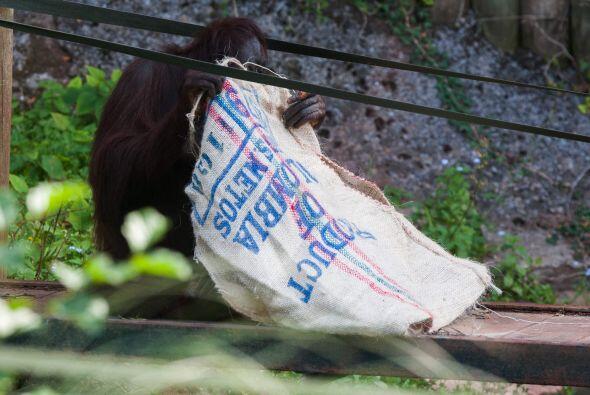 Pero Gambira no utilizó su saco de café para jugar.
