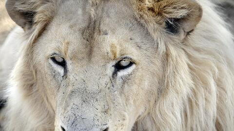 Según la African Wildlife Foundation, el número de leones...