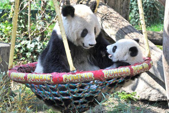 El bebé panda se veía radiante pasando una tarde con su mamá.