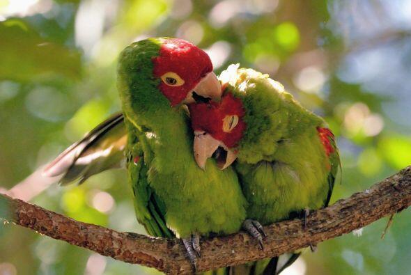 Como unos verdaderos tórtolos, las aves se abrazan, se acurrucan y se ac...