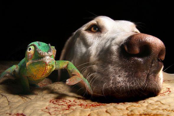 ¡Esta rara amistad juntó a un Labrador con un camaleón!