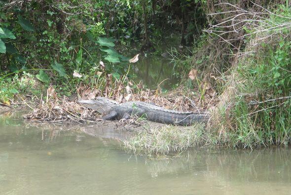 A lo lejos pudieron ver a uno de estos impresionantes cocodrilos.