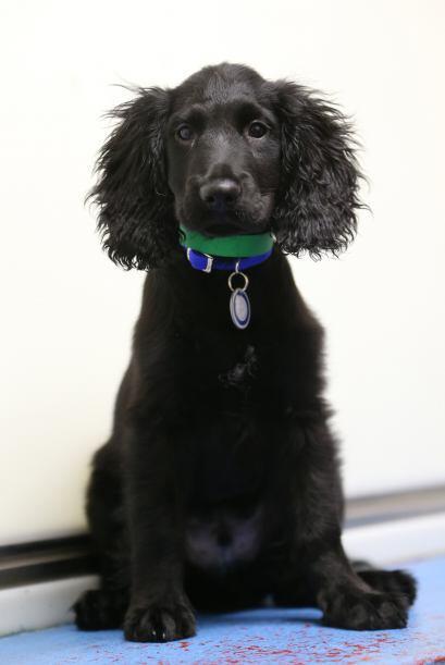 Cocker Spaniel: Este es una mascota que puede vivir felizmente en un peq...