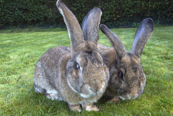 Esta familia de conejos se disputa el Récord Guinness del conejo más gra...