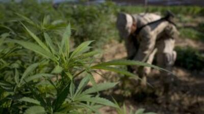 Soldados mexicanos localizaron en Durango varios plantíos de marihuana q...