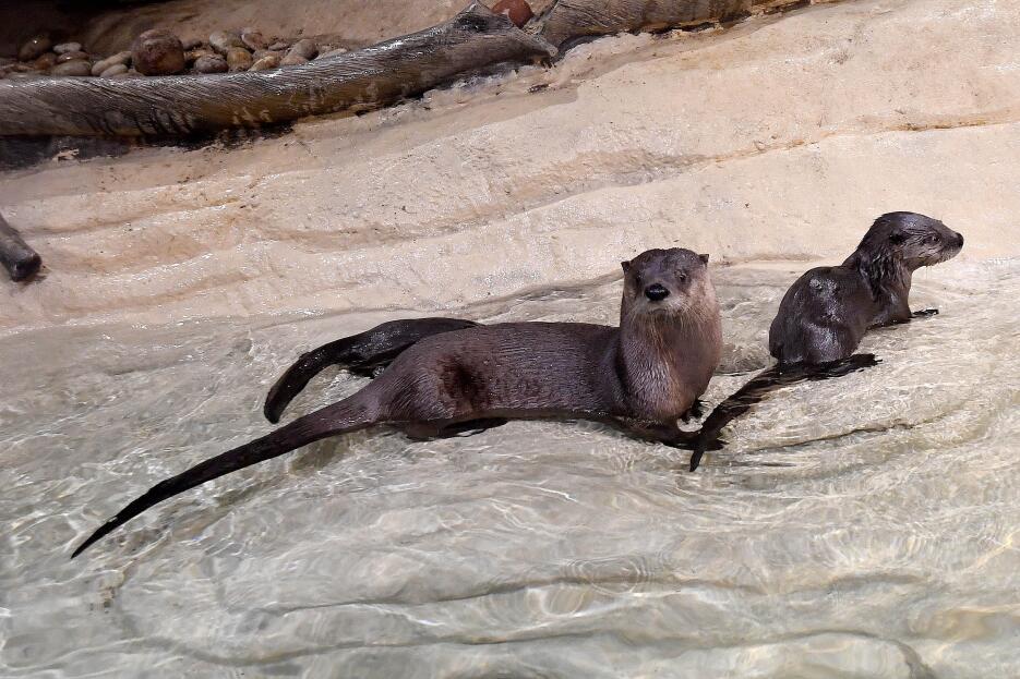Dos bellas nutrias hicieron su debut en el zoólogico Brookfield en Chicago