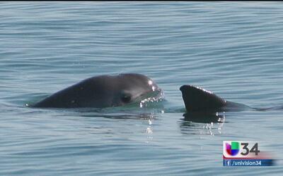 Buscan salvar a la vaquita marina