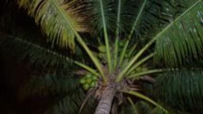 """Hasta las tropicales palmeras de Miami reciben su """"retoque navideño""""."""
