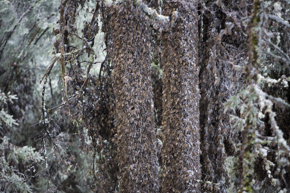 Mariposas monarca: cuando la nieve amenaza su supervivencia MARIPOSA_13.jpg