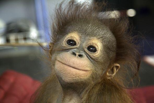 Es difícil creer que siendo tan pequeños, estos orangutanes han experime...