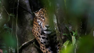Los jaguares del Amazonas brasileño viven en las copas de los árboles para sortear las inundaciones
