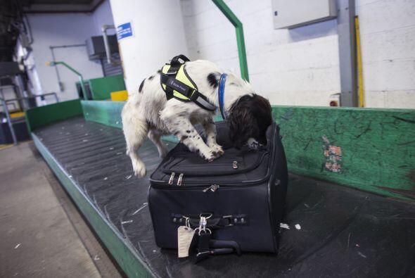 La mayoría de las veces los perros logran encontrar las sustancias ilega...