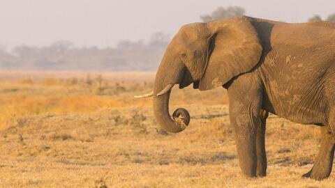 Naciones Unidas le dice no a la venta del marfil de los elefantes de Zim...