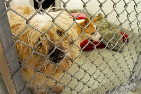 Son perros que la mayor parte de su vida se la pasaban en jaulas, pero s...