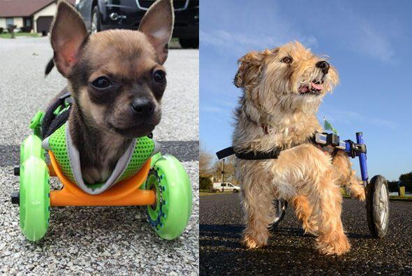 Las historias de estos dos perritos, son sorprendentes y un ejemplo para...